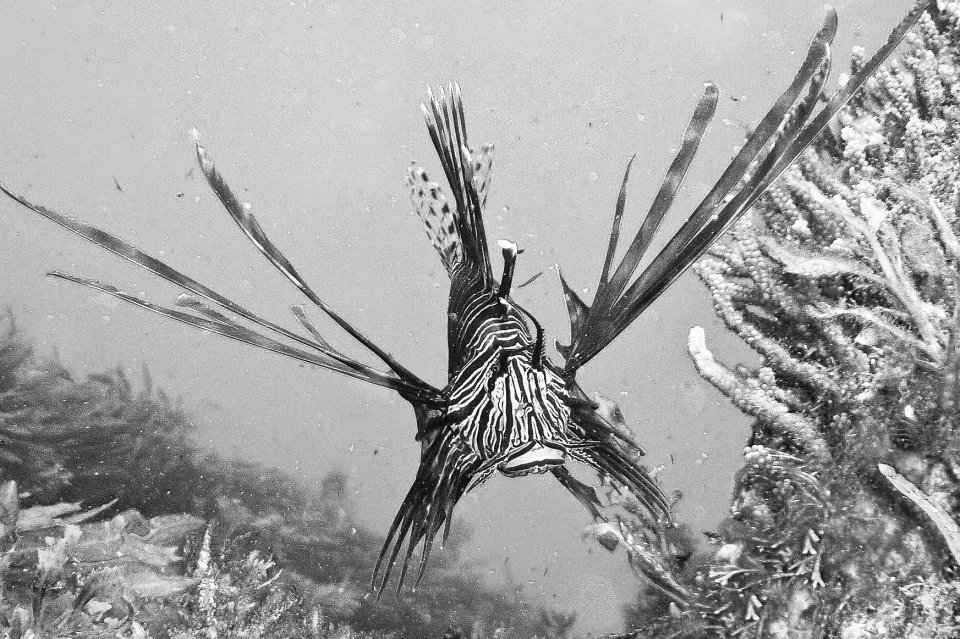 An indian lion fish